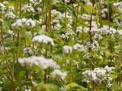 Grano saraceno: grano nero della salute