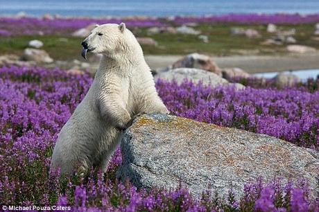 белый медведь фото из красной книги