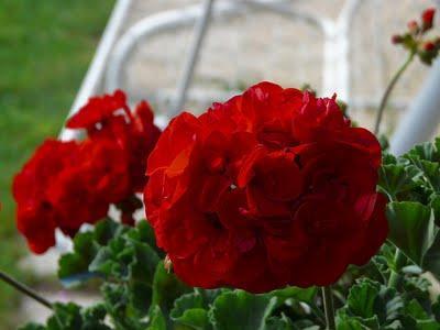Le piante primaverili paperblog for Geranio macranta