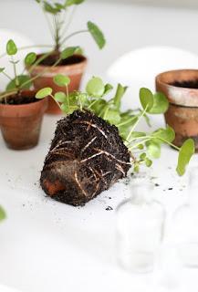 {Pilea Peperomioides plant}