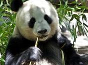 Come diventare Panda? Seguitemi!