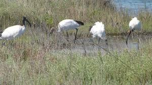 Ibis sacro nel Delta del Po