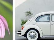 gerbera maggiolino Volkswagen
