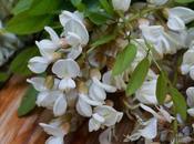 piante lungo sentiero bosco .... fiori acacia
