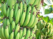 Iniziativa formativa naturalistica Gesuiti Camerun coltivare banane progetti microimprenditoria