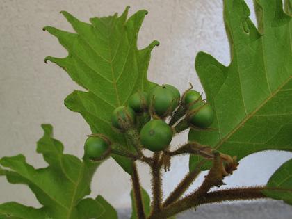Solanum torvum ottenere i frutti o innestarlo con la for Pianta solanum