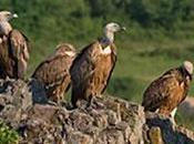 africa 2010, strage avvoltoi prevedere risultati south slaughter vultures predict results