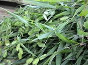 #fioridivenerdì- reciso Chasmanthium latifolium prossimo workshop