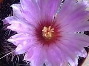 Thelocactus bicolor: fiore seme
