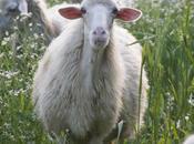sono pastora, pastori sardi