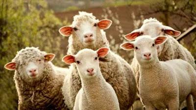 Comportamenti anomali e bizzarri in agnelli trattati con alluminio
