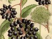 Ginseng siberiano: potente adattogeno naturale