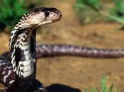 serpenti velenosi Marocco.