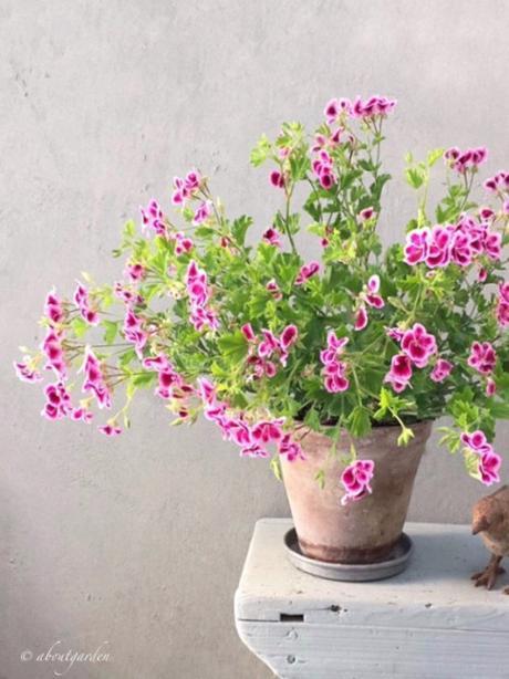 geranium vs pelargonium