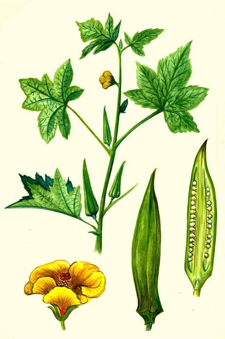 Come coltivare l'okra (o gombo) nell'orto di città e come cucinarla