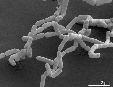 I microbi intestinali mangiano i nostri farmaci!