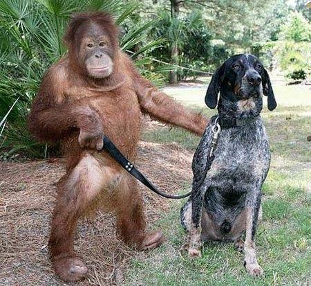 http://1.bp.blogspot.com/-sa3qeXD5fr8/TZktc3D3neI/AAAAAAAAMHc/o93yQ1UASrQ/s1600/orangutan-and-a-blue-tick-hound.jpg