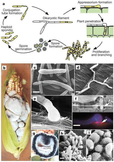 Ciclo dell' Ustilago maydis. Insights from the genome of the biotrophic fungal plant pathogen Ustilago maydis
