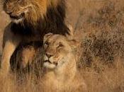 leoni trombano come conigli