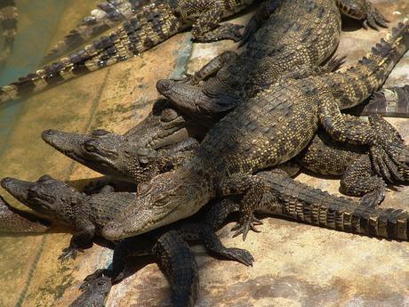 Il coccodrillo siamese è una rarissima specie di coccodrillo d'acqua dolce originaria del Sud-est asiatico.