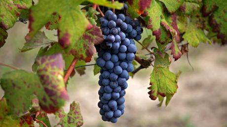 Nebbiolo: il padre dei grandi vini…