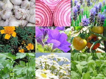 Nove piante per orto e giardino che allontanano parassiti e malattie - Paperblog