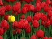 Pane tulipani