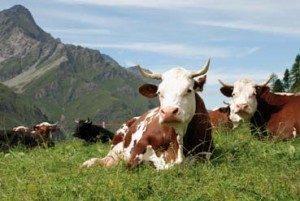 Valutazione dell'efficacia economica della metodologia omeopatica nella gestione sanitaria delle bovine da latte ad alta produzione