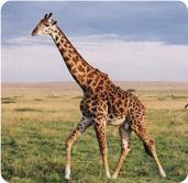 Mito: la trasformazione della giraffa
