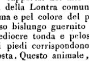 NUTRIA (Coypu Castorino Myocastor coypus) COME ANIMALE DOMESTICO COMPAGNIA (PET)
