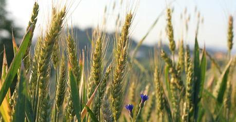 Le Virtù dei cereali secondo Nonna: La Segale