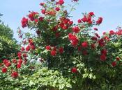 Rimedi della Nonna cura delle Rose