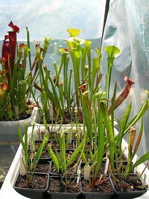 Serra piante carnivore paperblog for Piante carnivore