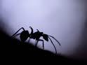 Siamo formiche rantolano