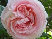 rosa. Pierre Ronsard