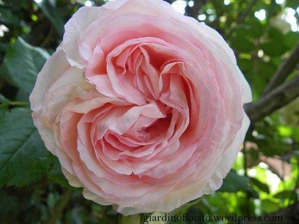 Una rosa pierre de ronsard paperblog for Pierre de ronsard rosa