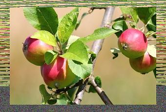 Propriet curative delle mele bio per bambini paperblog - Mele fuji coltivazione ...