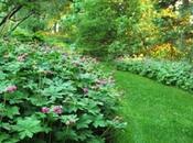 piante tappezzanti: Geranium macrorrhizum