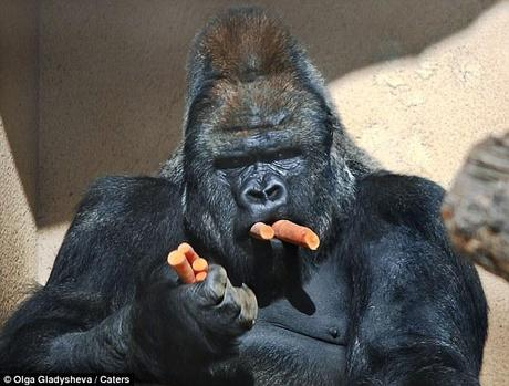 Alone time: The animal then hid away in the corner of his enclosure to eat his way through his stash of carrots