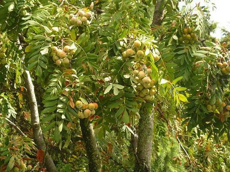 Il sorbo albero da frutto e da giardino paperblog for Albero da frutto nano