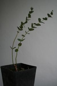 Un eucalyptus a Istanbul