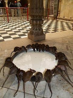 Il Tempio dei Topi in Rajastan - India