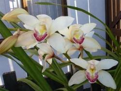 Orchidea cymbidium paperblog - Orchidea da esterno cymbidium ...