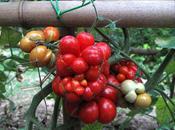 Varietà rare: l'incredibile pomodoro Reise, strano così…