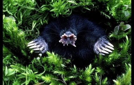 Gli animali pi brutti della terra paperblog for Talpa mammifero