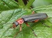 Omeopatia si:Cantharis ustioni