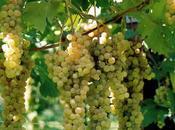 vino Trebbiano Rubicone: amico freddo invernale