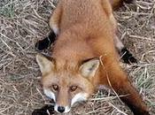 Pellicce: cattura degli animali selvatici