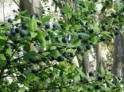 mirto, gradevole profumo Sardegna