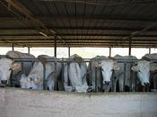 mucche Luchetti